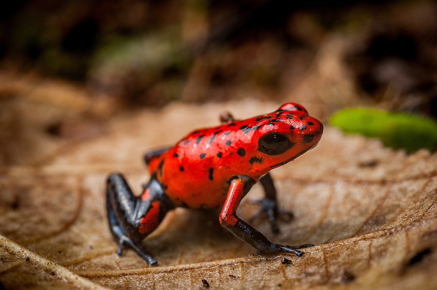 Strawberry Poison Dart Frog (dendrobates pumilio)-- Like other poison dart frogs, this species advertises its danger to predators with bright colors. Its toxins are derived from its diet of ants and are lost when reared in captivity on a diet of fruit flies The female of this species carries her tadpoles on her back to water-filled bromeliads to develop. Siquirres, Costa Rica. -- Like other poison dart frogs, this species advertises its danger to predators with bright colors. Its toxins are derived from its diet of ants and are lost when reared in captivity on a diet of fruit flies The female of this species carries her tadpoles on her back to water-filled bromeliads to develop. Siquerres, Costa Rica.