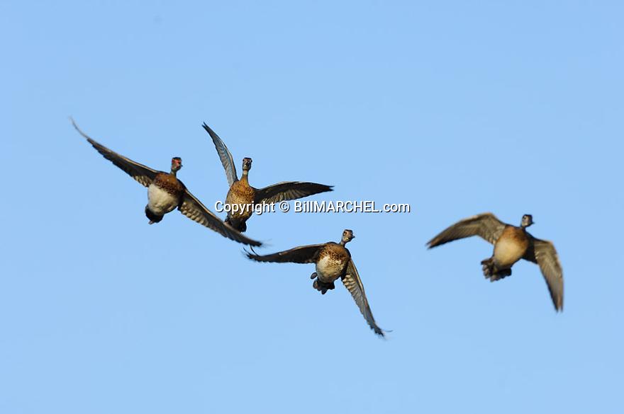 00360-097.20 Wood Duck flock of immature birds in flight.  Hunt, action, fly..