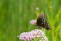 03029-01307 Spicebush Swallowtail butterfly (Papilio troilus) on Swamp Milkweed (Asclepias incarnata) Marion Co., IL