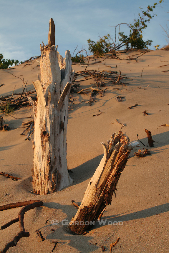 Dead Tree Stumps in Sand Dunes, Pinery Provincial Park