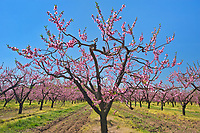 Peach trees in bloom (flowering) on an orchard on Lake Ontario in the Niagara Region.  Golden Horseshoe. Niagara Peninsula.<br />