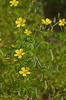Dillens Sauerklee, Dillenius' Sauerklee, Oxalis dillenii, Xanthoxalis dillenii, Slender yellow woodsorrel, Southern Wood Sorrel, Gray-green wood sorrel, Sussex Yellow-sorrel, Oxalide de Dillenius
