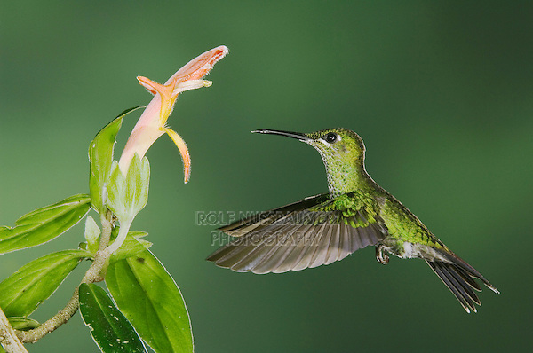 """Green-crowned Brilliant, Heliodoxa jacula, female in flight feeding on """"Snakeface"""" Flower, Central Valley, Costa Rica, Central America"""
