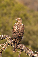 Bonelli's Eagle - Aquila fasciata - 2 year old male