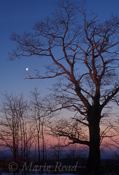 Winter oak with setting half-moon, New York, USA<br /> Slide # SNY-4046