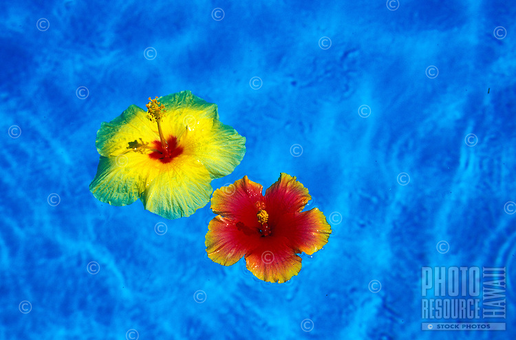 A beautiful red and yellow Hibiscus flower float in clear blue water.