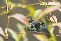 Blue American bullfrog, Rana catesbeiana, a rare mutation of a normally green frog caused by a lack of yellow pigment in the frog's skin. Mendocino County, California.
