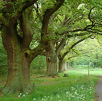 An avenue of large ancient trees borders a curving drive leading up to West Green House