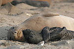 FB-S153  Northern Elephant Seal.  Female & Pup. 4x6 postcard