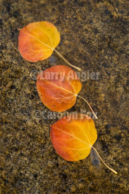 Orange leaf of an aspen tree in a stream in fall, Hope Valley, Alpine Co., Calif.
