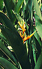 Amandari Resort, Bali: Strelitzia (Bird of Paradise Flower) Plant detail