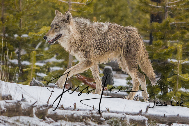 Young wolf waling in forest