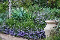 Verbena lilacina 'De La Mina' (Purple Cedros Island Verbena) flowering California native perennial subshrub Arlington Garden, Pasadena