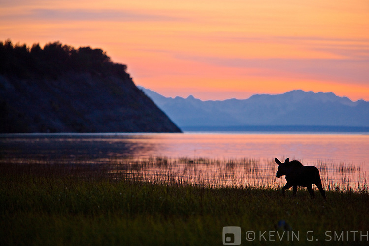 Moose  calf feeding along the Tony Knowles Coastal Trail at sunset, late summer, Anchorage, Southcentral Alaska, USA.