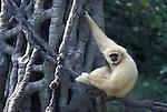White Handed Gibbon (Hylobates lar).