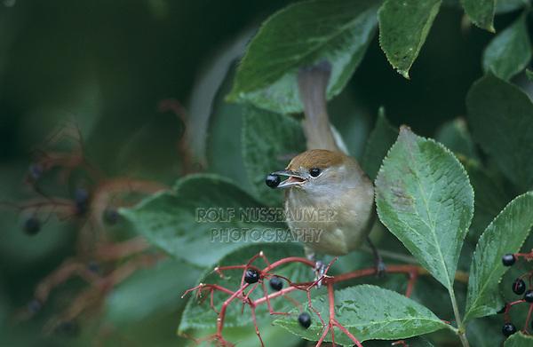 Blackcap, Sylvia atricapilla, female eating on Common Elderberry (Sambucus nigra), Oberaegeri, Switzerland, September 1998