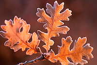 Oak leaves in frost. Near Monroe, Oregon.