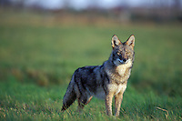 Coyote (Canis latrans) in farm field.