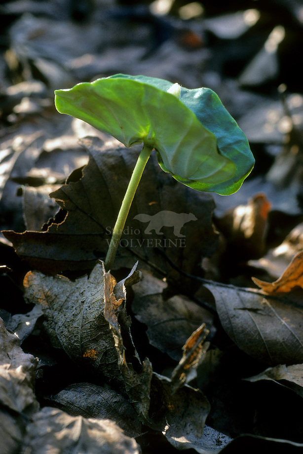 Beuk (Fagus sylvatica), ontkiemende zaailing