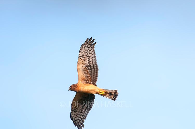 Marsh Hawk in flight after dive bombing an eagle.