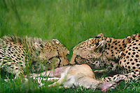 615004055 a mother and young cub acinonyx jubatus feed on a thompsons gazelle on an open plain in masai mara reserve in kenya