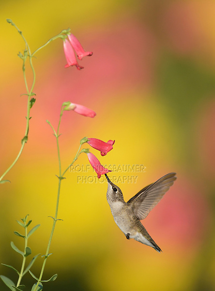 Ruby-throated Hummingbird (Archilochus colubris), female feeding on Rock Penstemon (Penstemon baccharifolius), Hill Country, Central Texas, USA