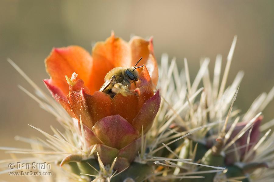 Cactus bee, Diadasia sp. (probably Diadasia rinconis), in flower of buckhorn cholla, Cylindropuntia acanthocarpa. Saguaro National Park, Arizona