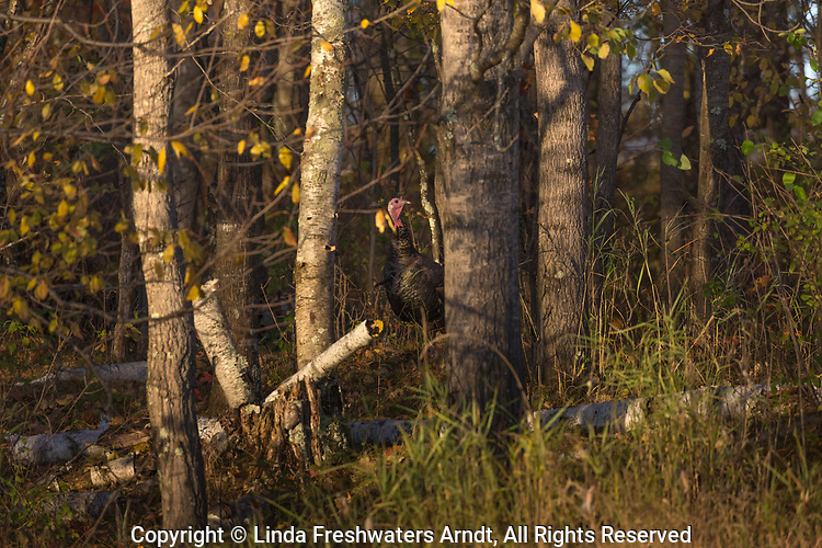 Eastern wild turkey hidden in the autumn woodland.