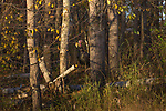 Eastern wild turkey hidden in the autumn woodland.
