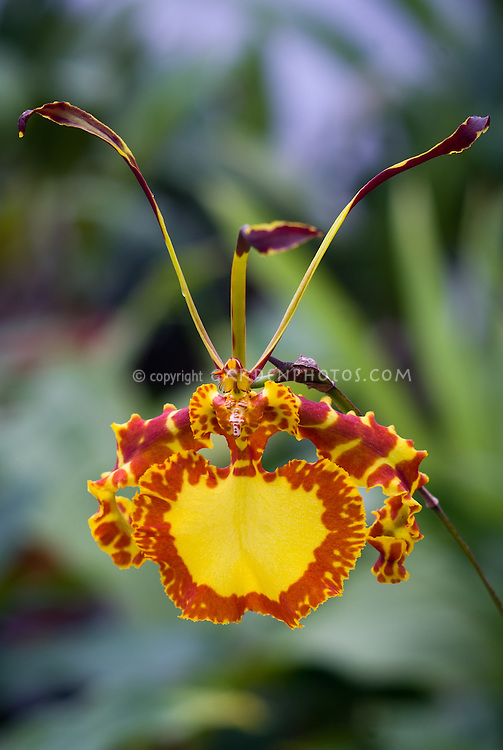 Psychopsis Mendenhall &lsquo;Hildos&rsquo;, FCC/AOS, orchid hybrid of Butterfly x papilio, bred by<br /> Carter &amp; Holmes 1988, aka Oncidium.<br />  Psychopsis Mendenhall was first created through the hybridization efforts of Carter and Holmes Orchids and was registered in 1988. It is a hybrid between Psychopsis Butterfly (sanderae x papilio made by Ruben in Orchids, 1969) and Psychopsis papilio. The clone &lsquo;Monarch&rsquo; was given an Award of Merit by the American Orchid Society. This particular clone is vigorous, with wide thick leaves that have a slight purple mottling on the edges and tips. The wide leaves give evidence that this clone may be a tetraploid. The butterfly-like flowers are large and can be 5 to 6 inches in size. The spikes are from 2 to 3 feet in height and can produce flowers for several years. This plant is easy to grow and flower