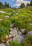 Wind River Range, WY: A field of alpine wildflowers and dry creek bed PoPo Agie Wilderness; Shoshone National Forest