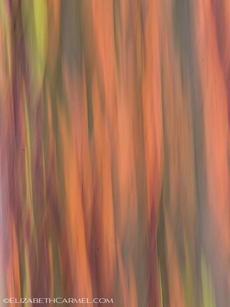 Rainbow Eucalyptus IV