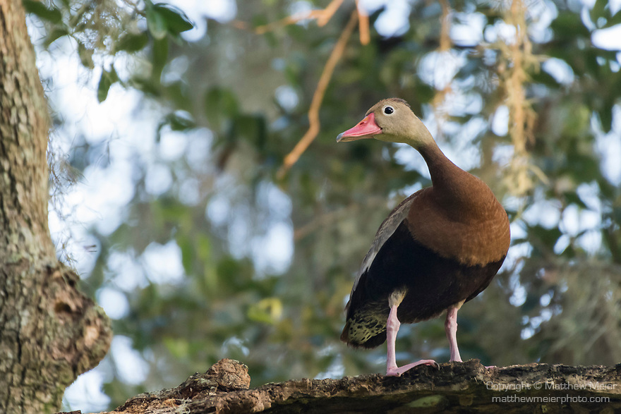 Brazoria County, Damon, Texas; a Black-bellied Whistling Duck standing on the remains of tree branch in a large live oak tree