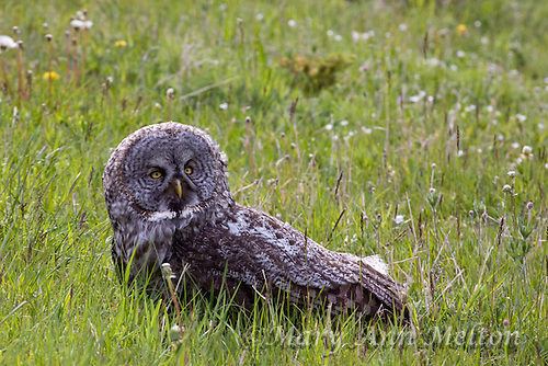 Great Gray Owl, Strix nebulosa, Yellowstone National Park.  This Great Gray Owl had been struck by a vehicle and was injured by the side of the road.  It was taken to a rescue animal center in Gardiner for rehabilitation.