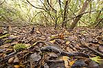 Santa Cruz Long-toed Salamander (Ambystoma macrodactylum croceum) in upland oak habitat, Aptos, Monterey Bay, California