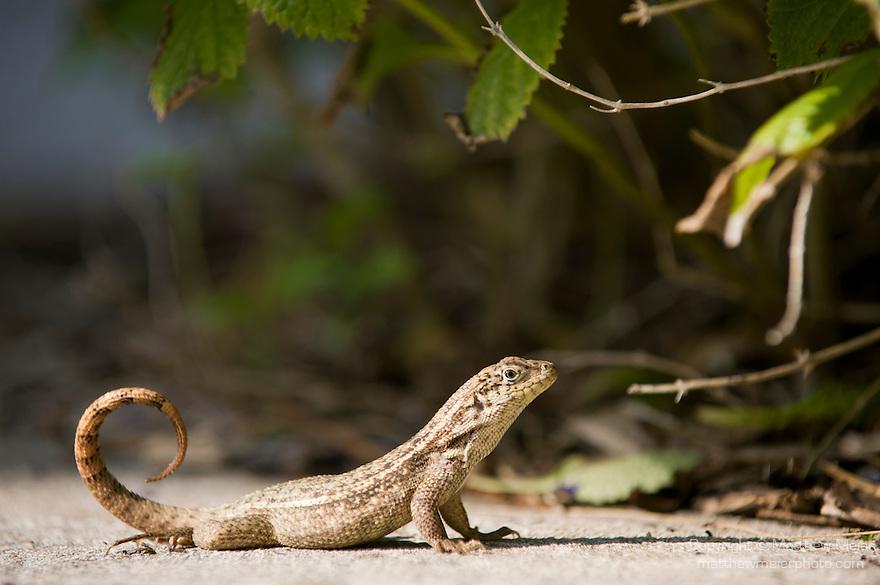 Grand Bahama Island, The Bahamas; a Little Bahama Curly-tailed Lizard (Leiocephalus carinatus armouri) sunning itself, it is a sub-species of the Northern Curly-tailed Lizard (Leiocephalus carinatus)