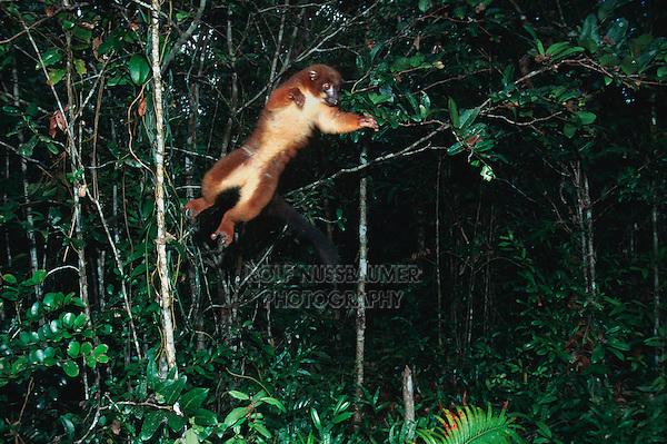 Collared Brown Lemur (Eulemur collaris), adult jumping, Madagascar, Africa