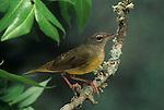 Immature Mourning Warbler (Oporonis philadelphia).