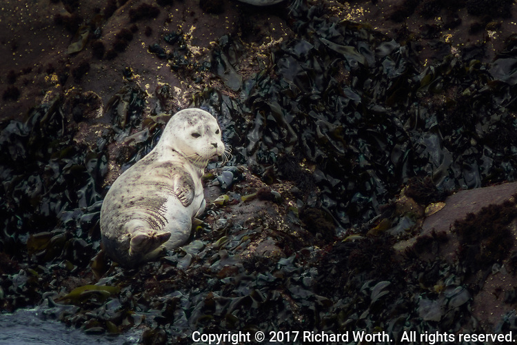 A Harbor seal pup rests, unconcerned, less than a minute after being surprised inundated  by an incoming wave.  Bean Hollow State Beach on the California coas.