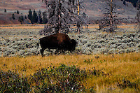 Bison grazing in Yellowstone National Park