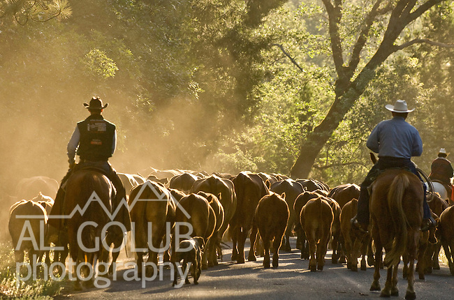 Buck Meadows, California May 30, 2007.Erickson Cattle Co. Cattle drive cattle across Highway 120 to Kassabuam Meadow...Photo by AL GOLUB/Golub Photography.