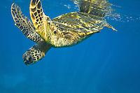 Green Sea Turtle (Hawaii); Chelonia mydas