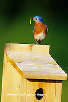 01377-13920 Eastern Bluebird (Sialia sialis) male with mealworms at nestbox  Marion Co.  IL