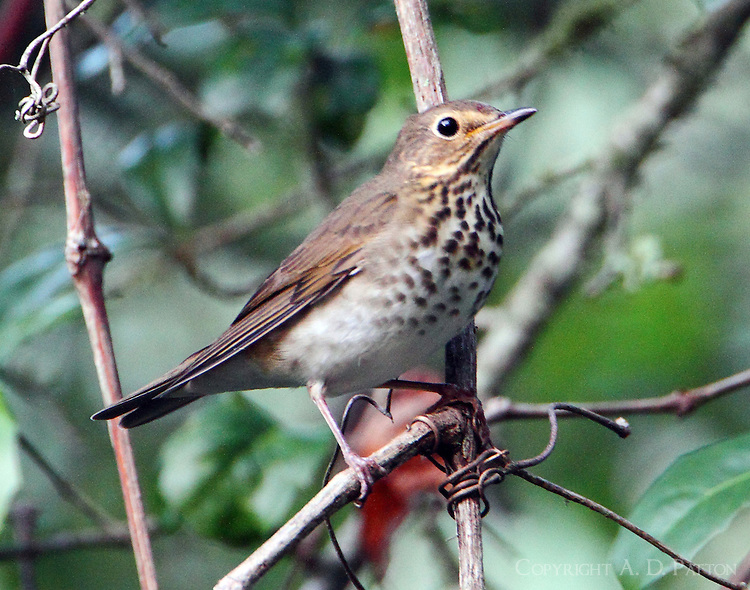 Swainson's thrush in fall migration