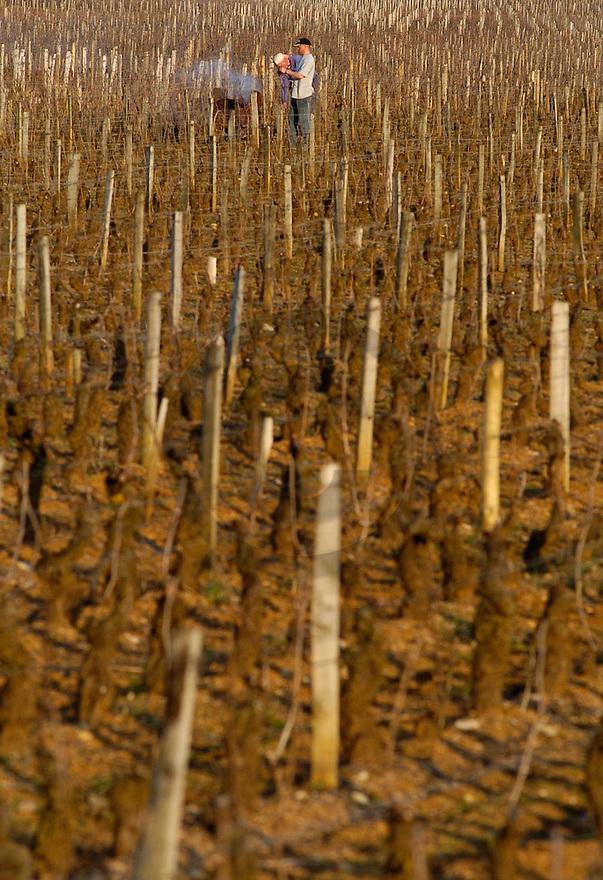 16/03/05 - NUITS SAINT GEORGES - COTE D OR - FRANCE - Taille et elimination des sarments dans le vignoble de Bourgogne - Photo Jerome CHABANNE