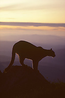 Mountain Lion or cougar (Felis concolor), Cascade Mountains, Washington.  Summer.