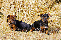 Black and tan Jack Russell puppies playing in a bed of hay, England, United Kingdom
