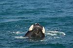 Whale watching at Gansbaï.baleine franche australe