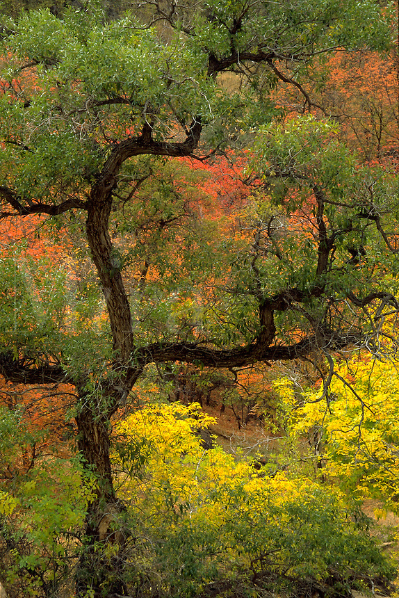 Cottonwood tree, oriental design. Fall colors. Utah, Zion National Park.