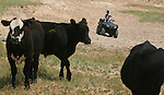 Rancher Jeff Kirkbride and his son, Jackson, use an ATV to herd cattle on the Harding and Kirkbride Ranch northeast of Cheyenne. Several times a week during the summer, the ranchers will drive out to each of the 20 or so pastures to check their cattle and make sure they have enough water and bring them the mineral powder..Michael Smith/staff